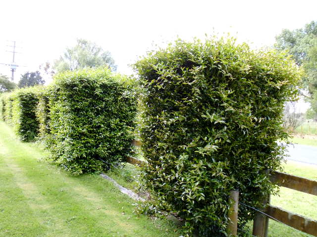 Hedge trimming: camellia pillars