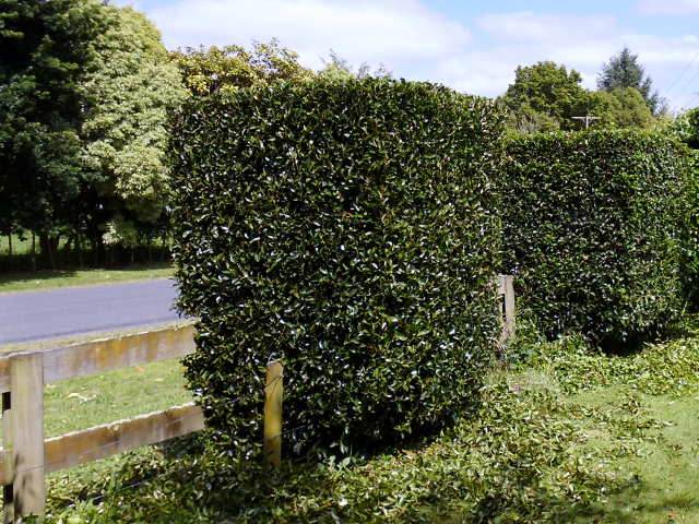 Hedge trimming services throughout the Waikato