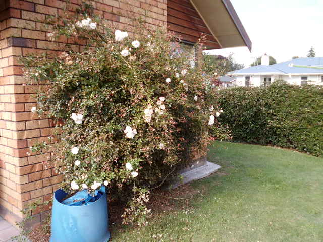 Rose pruning services in Hamilton, Cambridge and the Waikato